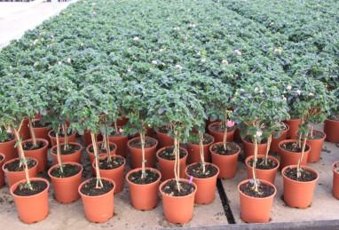 Rohware Spezialformen Beet- und Balkonpflanzen