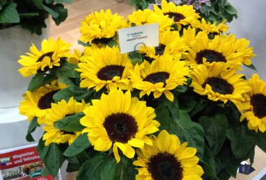 Helianthus Vincent's Choice