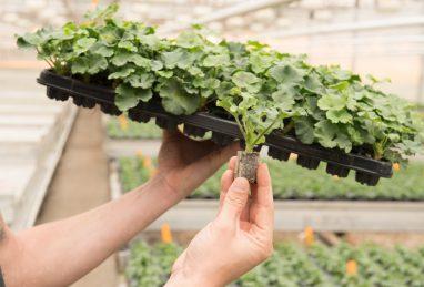 Pelargonien im Paperpot