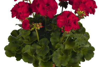 Pelargonium Survivor Idols Dark Red