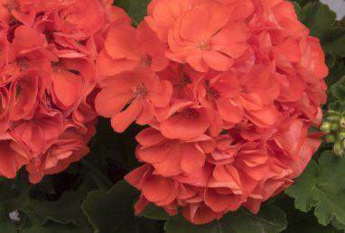 Pelargonium Survivor Idols Orange