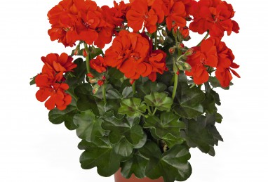Pelargonium peltatum Atlantic Fire