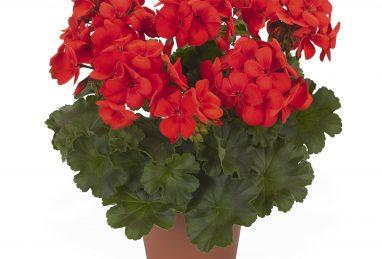 Pelargonium zonale x peltatum Sarita Fire 2018