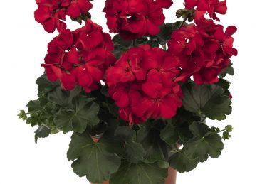 Pelargonium zonale x peltatum Sarita Dark Red