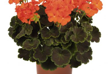 Pelargonium zonale Brocade Fire Night