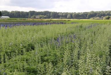 Delphinium Elatum-Hybr. Highlander-Serie Freiland Schnittproduktion