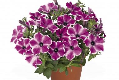 Petunia x atkinsiana Surprise Purple Dance