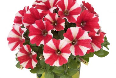 Petunia x atkinsiana Potunia Red Star