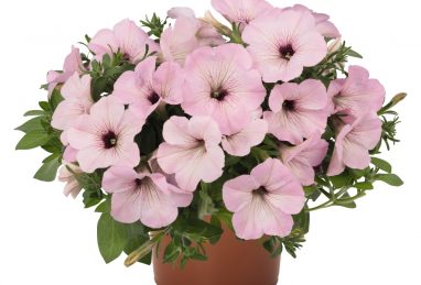 Petunia x atkinsiana Potunia Plus Vintage