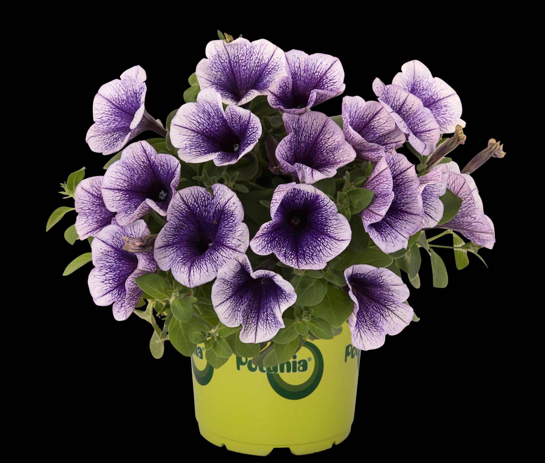 Petunia X Atkinsiana Potunia-Serie