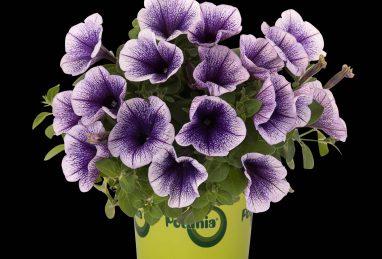 Petunia x atkinsiana Potunia Blueberry Ice