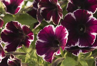Petunia x atkinsiana Sweetunia Miss Marvelous