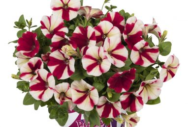 Petunia x atkinsiana Peppy Hot Red