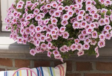 Calibrachoa Bloomtastic Rose Quartz
