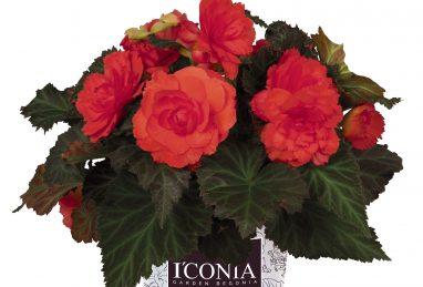 Begonia I'CONIA Portofino Coral