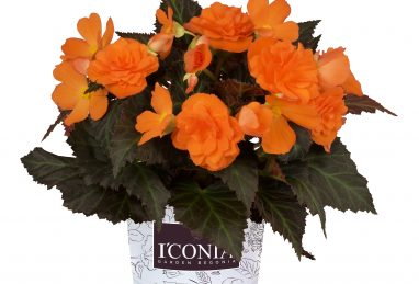 Begonia I'CONIA Portofino Orange