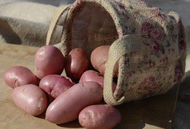 Solanum tuberosum (Kartoffel) Sarpo Una