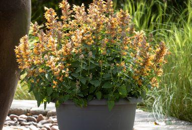 Agastache x hybrida Apadana