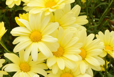 Argyranthemum frutescens Limero Yellow