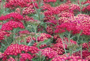 Achillea millefolium Red Velvet