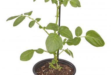 Solanum tuberosum Adessa F1