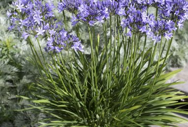 Agapanthus Pretty Sandy