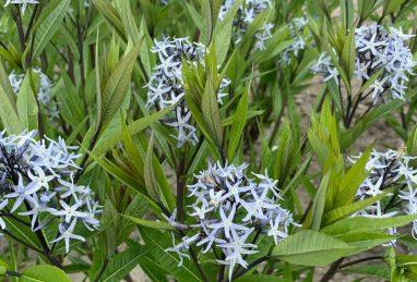 Amsonia Noble Blue