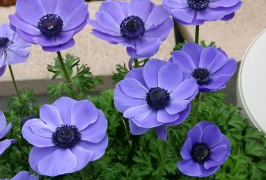 Anemone coronaria Animo-Serie, Animo Blue