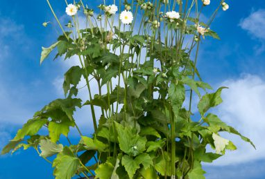 Anemone japonica Tiki Sensation