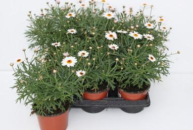 Argyranthemum FW T12