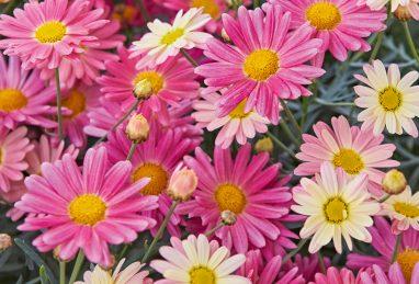 Argyranthemum frutescens Aramis Lemon & Pink