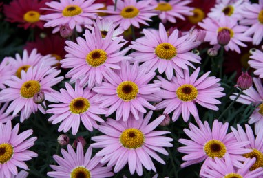 Argyranthemum frutescens Aramis Pink Eye
