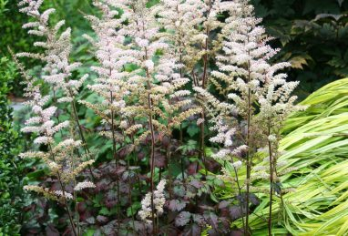Astilbe arendsii Color Flash