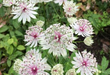 Astrantia major Bullseye