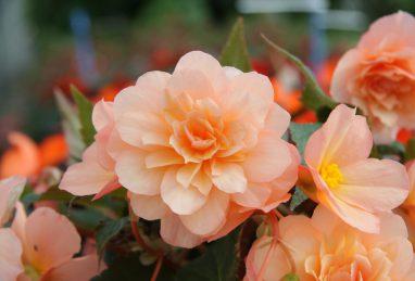 Begonia x tuberhybrida Fragrant Falls Peach
