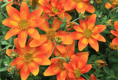 Bidens Hawaiian Flare Neon Orange