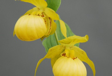 Cypripedium Barry Philipps