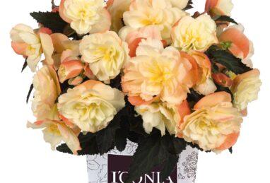 Begonia I'CONIA Armoa Peach