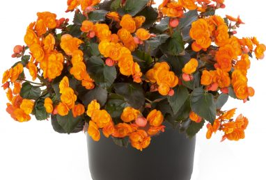 Begonia Sunpleasure Orange