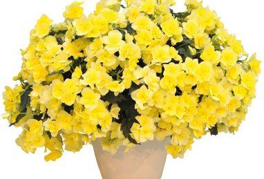 Begonia Sunpleasure Yellow