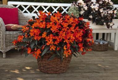 Begonia I'CONIA Upright Fire