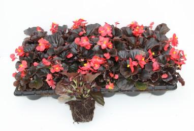 Begonia semperflorens FW 18er Platte