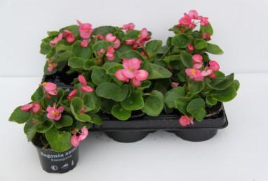 Begonia semperflorens FW T9