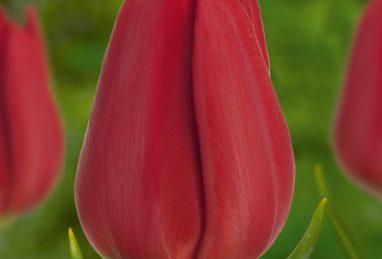 Tulpe Ben van Zanten