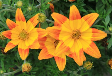 Bidens Hawaiian Flare Giant Yellow Red Tip