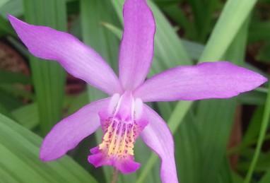 Bletilla-Hybride, lila