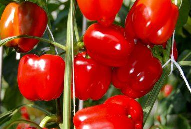 Capsicum annuum Cuby Red