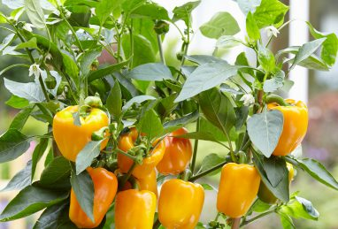 Capsicum annuum Cuby Yellow