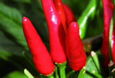 Capsicum frutescens Impressa F1 (Thai-Chili)