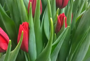 Tulpe Delta Red